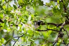 Oiseau de hochequeue avec des insectes dans le bec Photographie stock