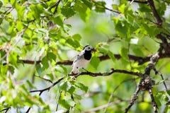 Oiseau de hochequeue avec des insectes dans le bec Images stock