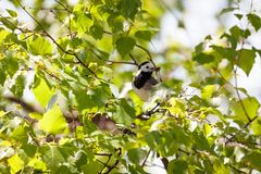 Oiseau de hochequeue avec des insectes dans le bec Photos stock