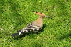Oiseau de Hoopoo, noir et blanc et rosâtre de l'Afrique du Nord Photographie stock libre de droits