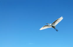 Oiseau de héron de vol Photos libres de droits