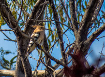 Oiseau de huppe sur un arbre avec la nourriture Photographie stock libre de droits