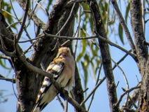 Oiseau de huppe sur un arbre avec la nourriture Image stock
