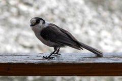 Oiseau de Jack de whiskey sur une balustrade Photo libre de droits