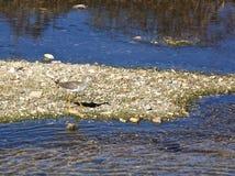 Oiseau de joueur de pipeau de sable Images stock