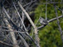 Oiseau de Junco Images libres de droits