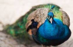 Oiseau de Juno ou peafowl image stock
