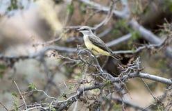 Oiseau de Kingbird occidental, lac Watson, Prescott Arizona photo stock