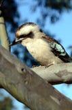 Oiseau de Kookaburra dans l'arbre Images libres de droits