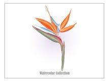 Oiseau de l'aquarelle vector2 de fleur de paradis Image libre de droits