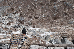 Oiseau de l'Himalaya équilibré sur un panier images stock