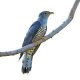 Oiseau de l'Himalaya de coucou Photographie stock