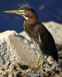 Oiseau de la Floride Photos libres de droits