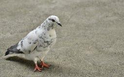 Oiseau de la Thaïlande Photo libre de droits