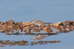 Oiseau de Lesser Sand Plover [mongolus de Charadrius] photographie stock