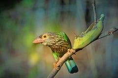 Oiseau de Lineated Barbet sur la branche Images stock