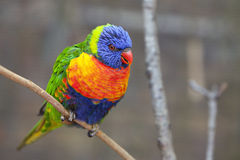 Oiseau de Lorikeet photo libre de droits