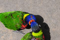 Oiseau de Lorikeet tenant le bec d'un autre Lorikeet Photo stock