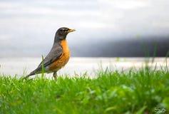 Oiseau de Lovley Image libre de droits