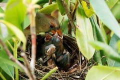 Oiseau de mère alimentant ses jeunes Photographie stock libre de droits