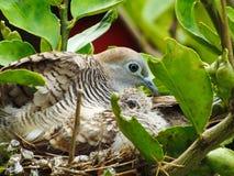 Oiseau de mère et de bébé dans le nid image stock