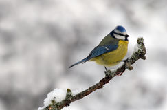 Oiseau de mésange photo libre de droits