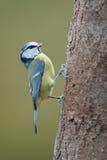 Oiseau de mésange bleue Photographie stock