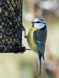 Oiseau de mésange bleue sur un conducteur d'oiseau Photographie stock libre de droits