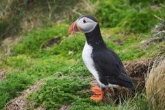 Oiseau de macareux sur les Îles Shetland Images libres de droits