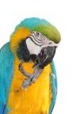 Oiseau de Macaw d'isolement photographie stock