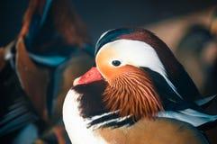 Oiseau de mandarine en parc photo stock