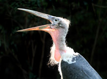 Oiseau de marabout Photo libre de droits