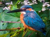 Oiseau de martin-pêcheur Images stock