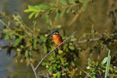 Oiseau de martin-pêcheur ceinturé Image stock