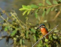 Oiseau de martin-pêcheur ceinturé Photographie stock