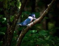 Oiseau de martin-pêcheur ceinturé Photo libre de droits