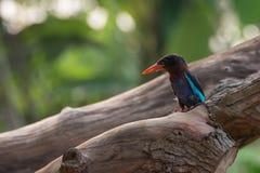 Oiseau de martin-pêcheur de Javan images libres de droits