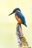 Oiseau de martin-pêcheur sur le branchement Photographie stock