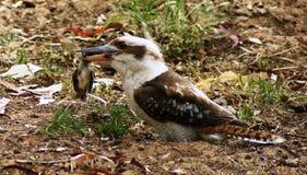 Oiseau de massacre de martin-chasseur photo libre de droits