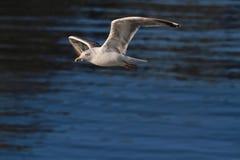 Oiseau de mer de mouette Image libre de droits