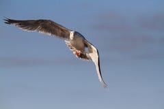 Oiseau de mer de mouette Photographie stock