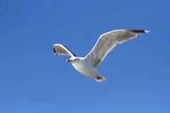 Oiseau de mer de mouette Photo libre de droits