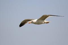 Oiseau de mer de mouette Photographie stock libre de droits