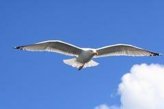Oiseau de mer de mouette Images stock