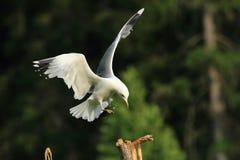 Oiseau de mer de mouette Images libres de droits