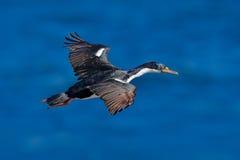 Oiseau de mer de vol Tapis à longs poils impériale, atriceps de Phalacrocorax, cormoran en vol Mer et ciel bleu-foncé avec l'oise Image stock
