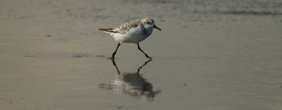 Oiseau de mer fonctionnant par l'eau photographie stock