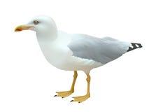 Oiseau de mer réaliste de mouette se tenant sur ses pieds sur un fond blanc Photographie stock libre de droits