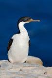 Oiseau de mer, tapis à longs poils impériale, atriceps de Phalacrocorax, marchant sur la roche jaune de lichen, mer bleu-foncé à  image libre de droits