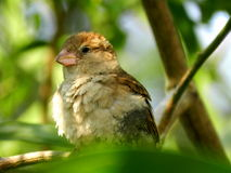 Oiseau de moineau Photo stock